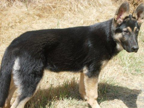 Black and tan german shepherd puppies for sale in birmingham