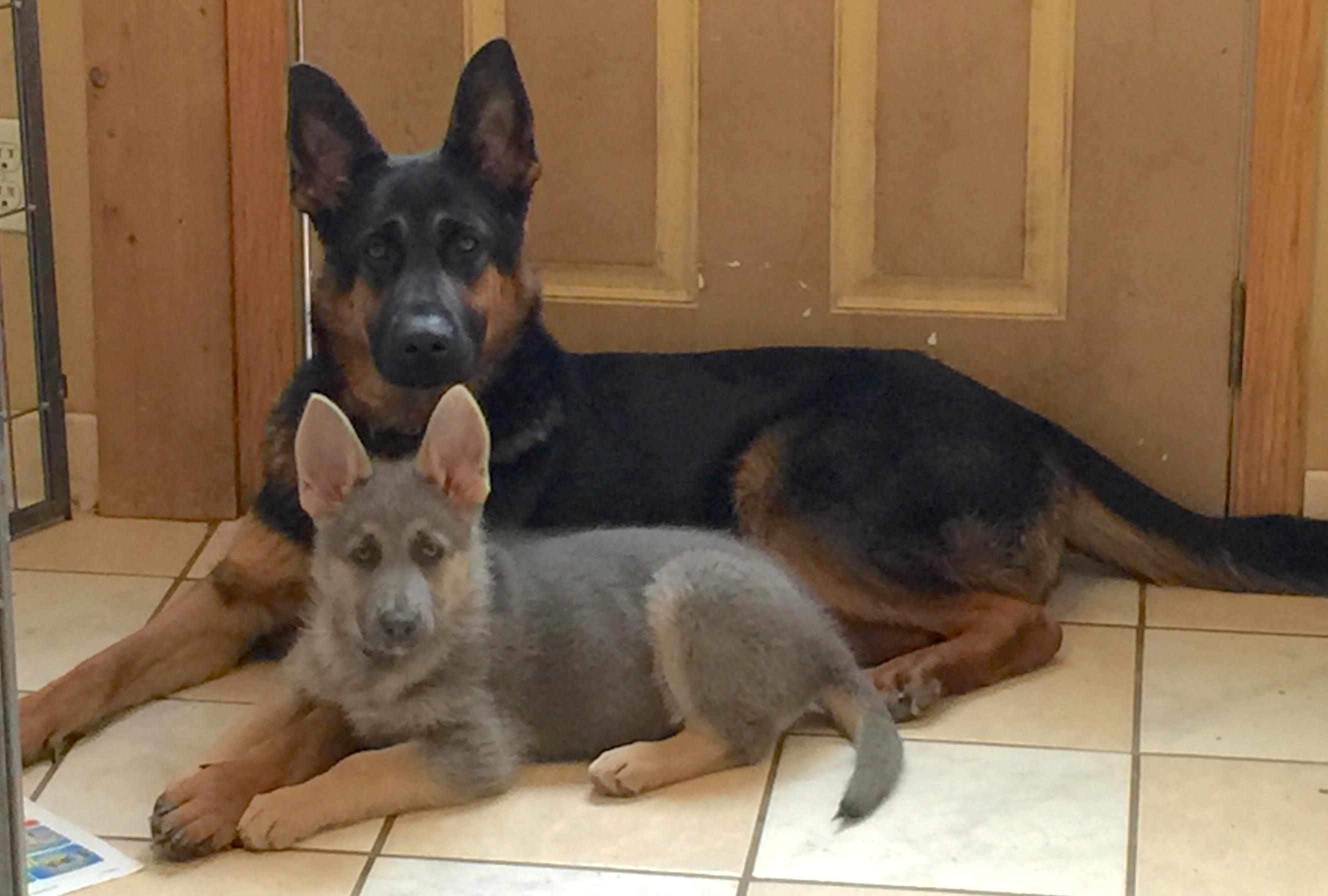 German Shepherd Blue And Tan Blue powder German she...