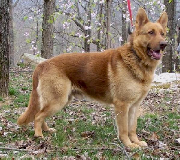 9 Dog Breeds That Are Amazingly Similar To German Shepherds
