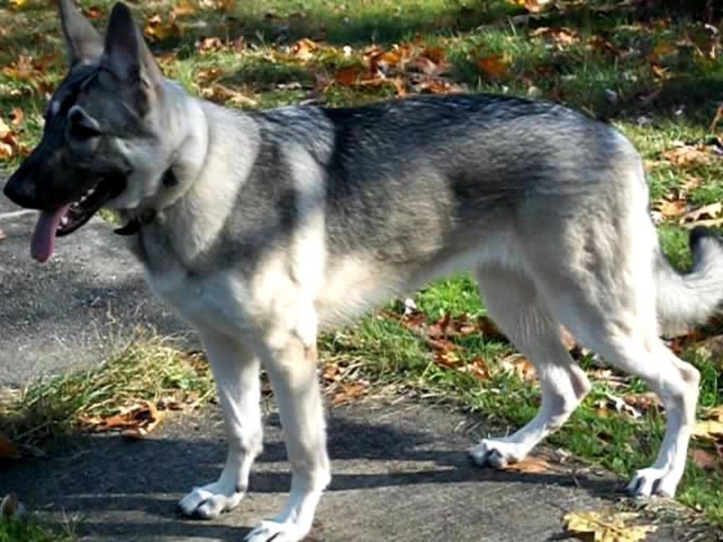 big silver sable herman shepherd