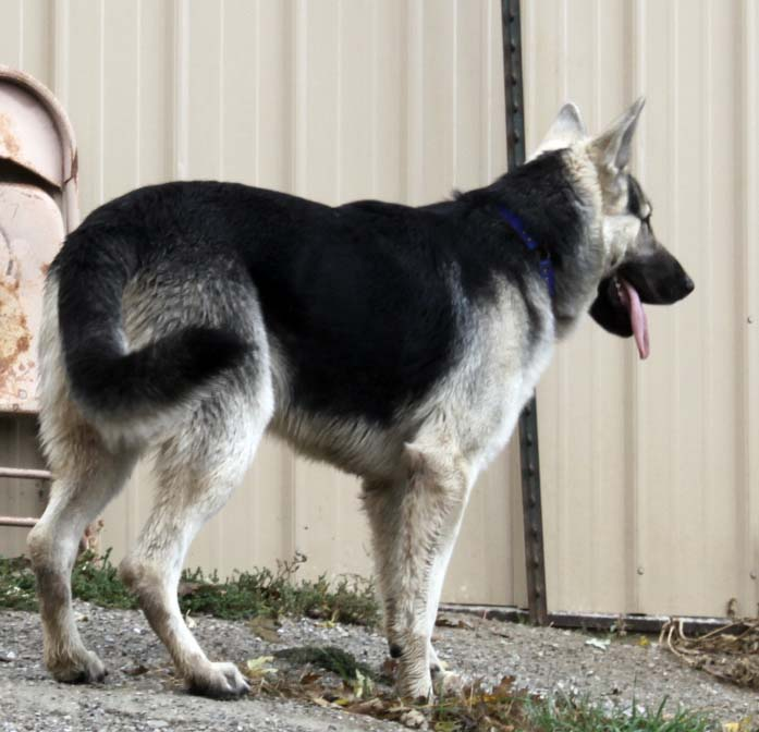 big headed black and silver german shepherd for sale