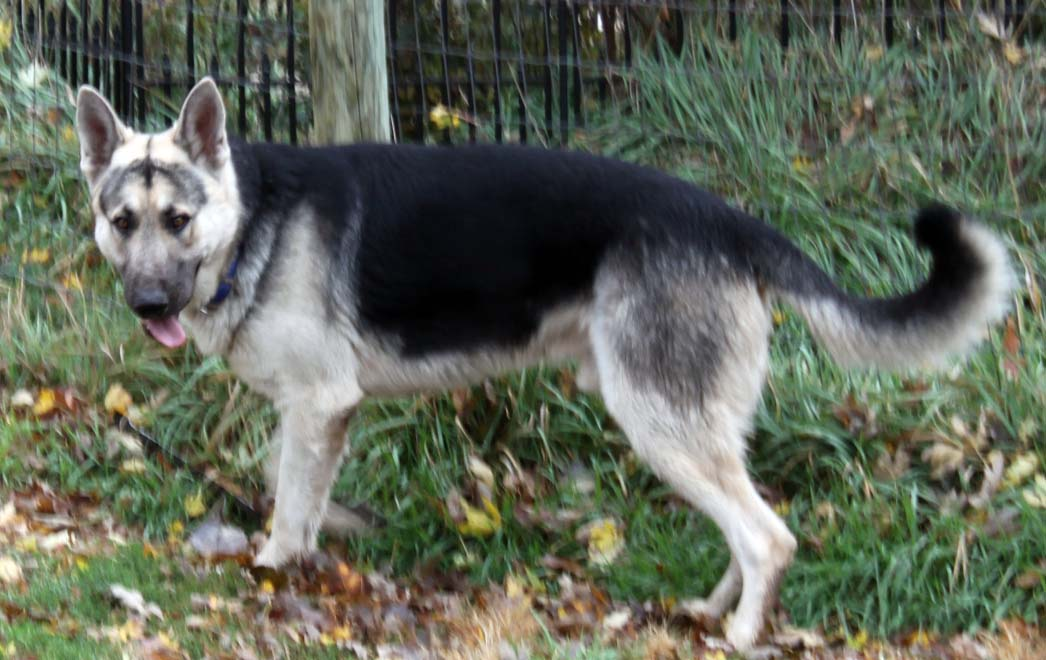 Black And Silver German Shepherds Images & Pictures - Becuo
