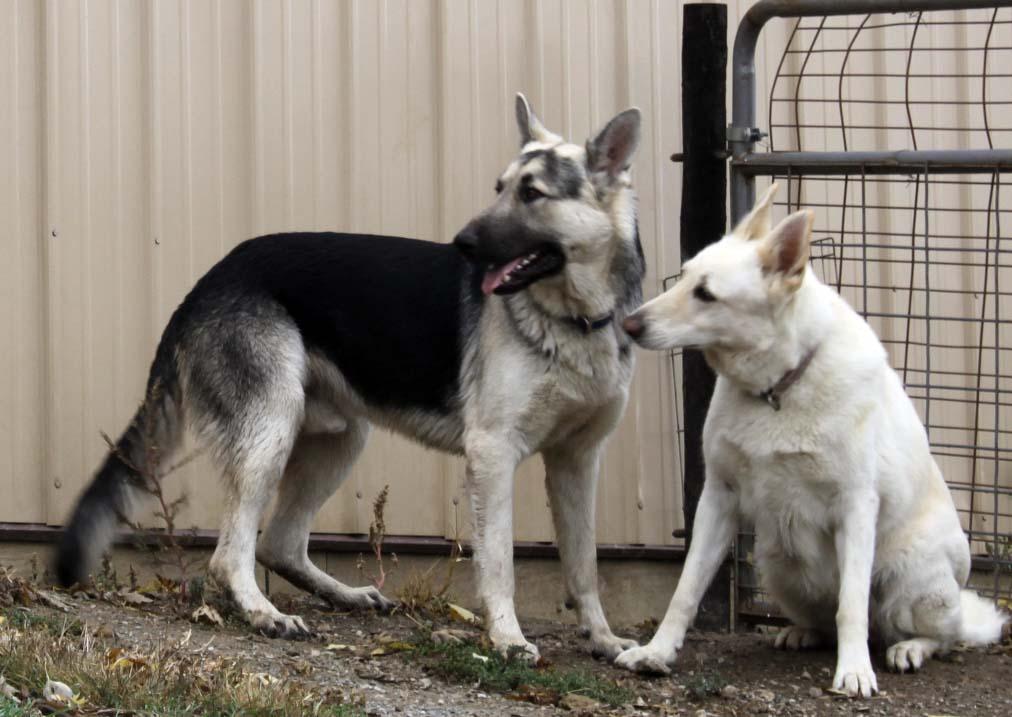 Huge Black An Silver German Shepherds