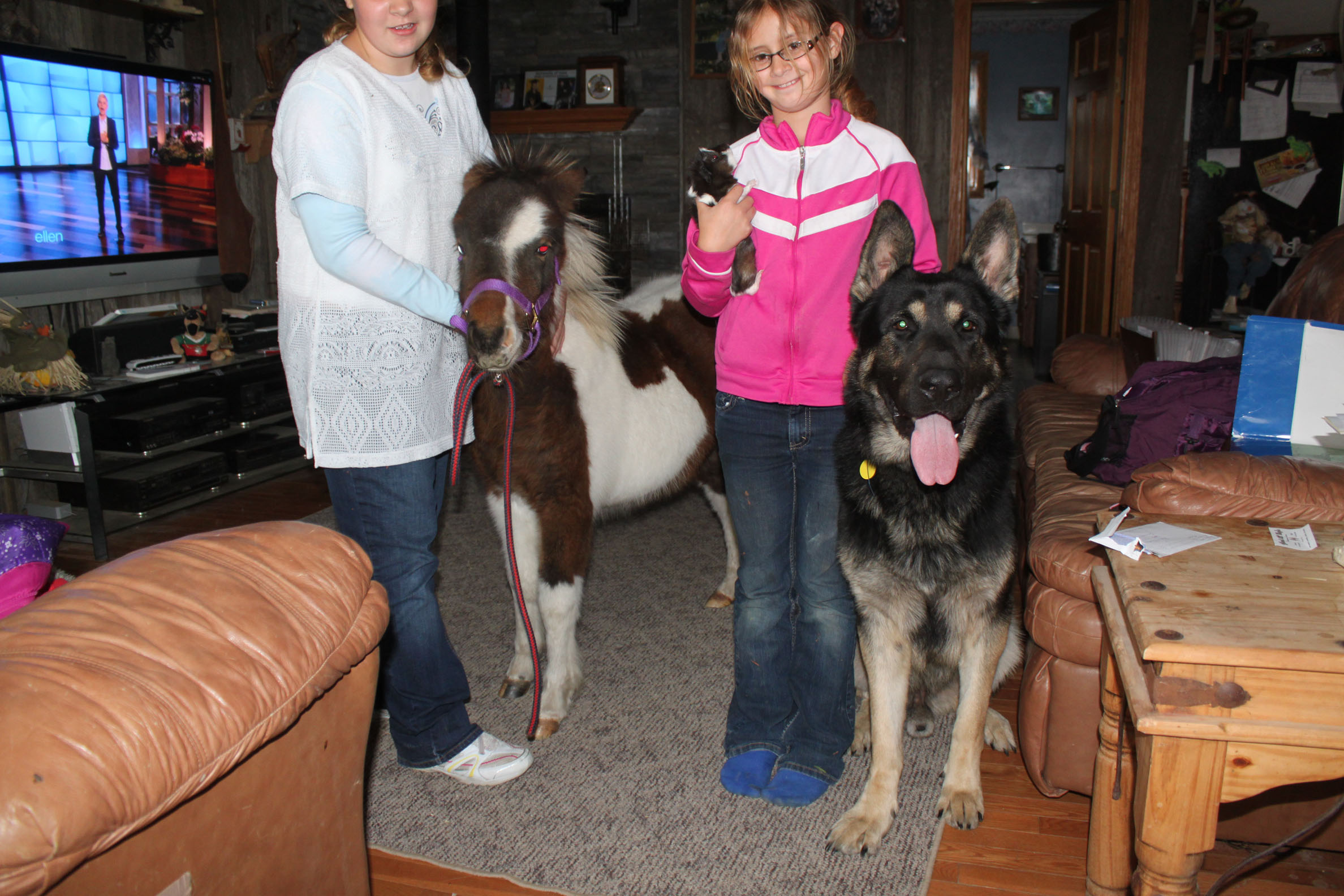 Breeding Oversized, Large German Shepherds  big dogs in the mid-west