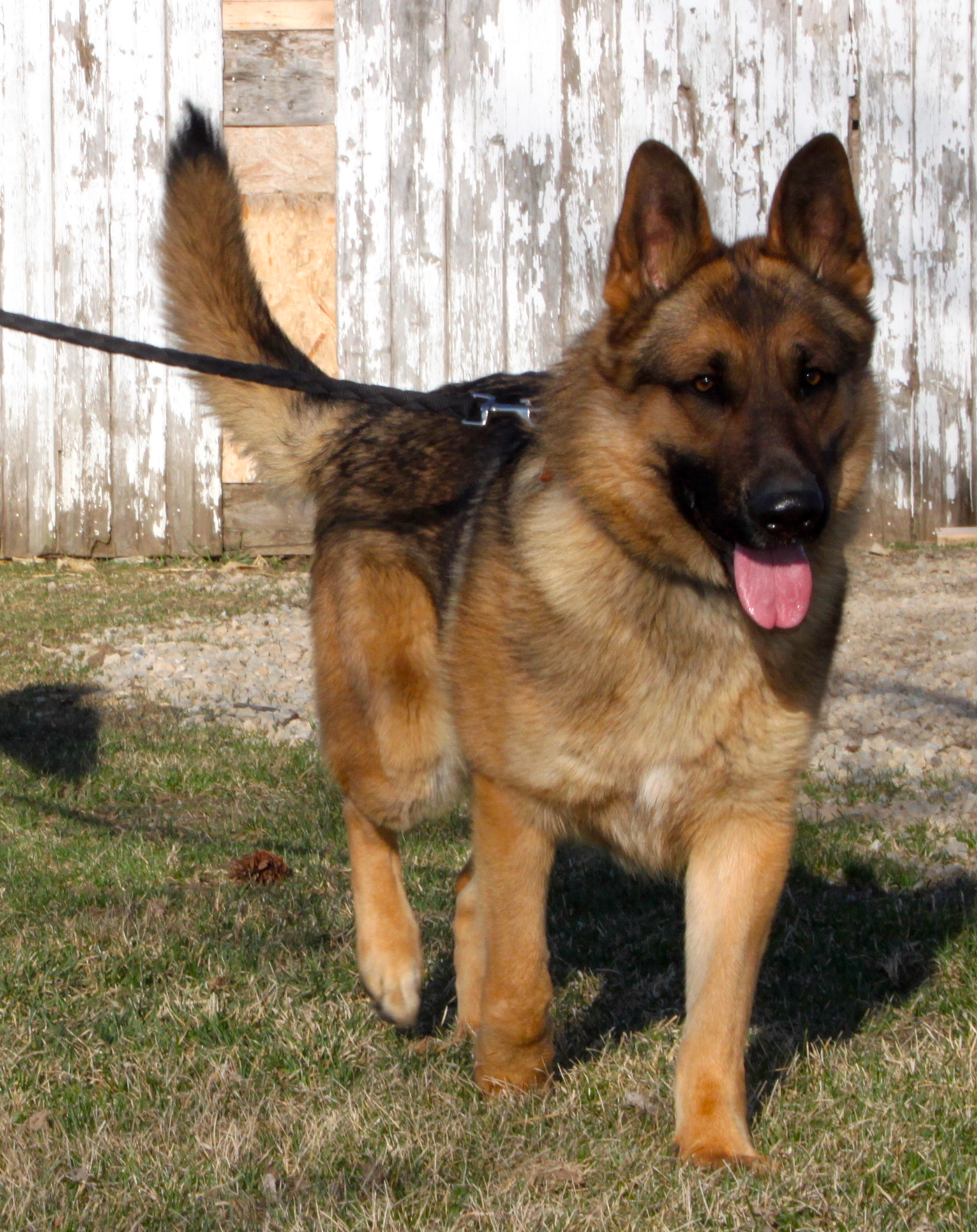 red sable german shepherds for sale iowa