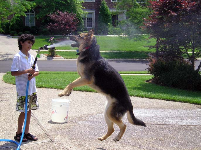 Worlds Biggest German Shepherd