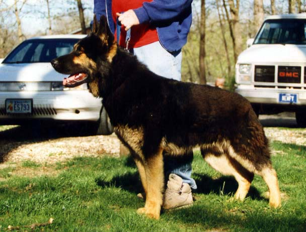 east german shepherd