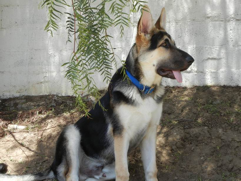 big tri color german shepherd