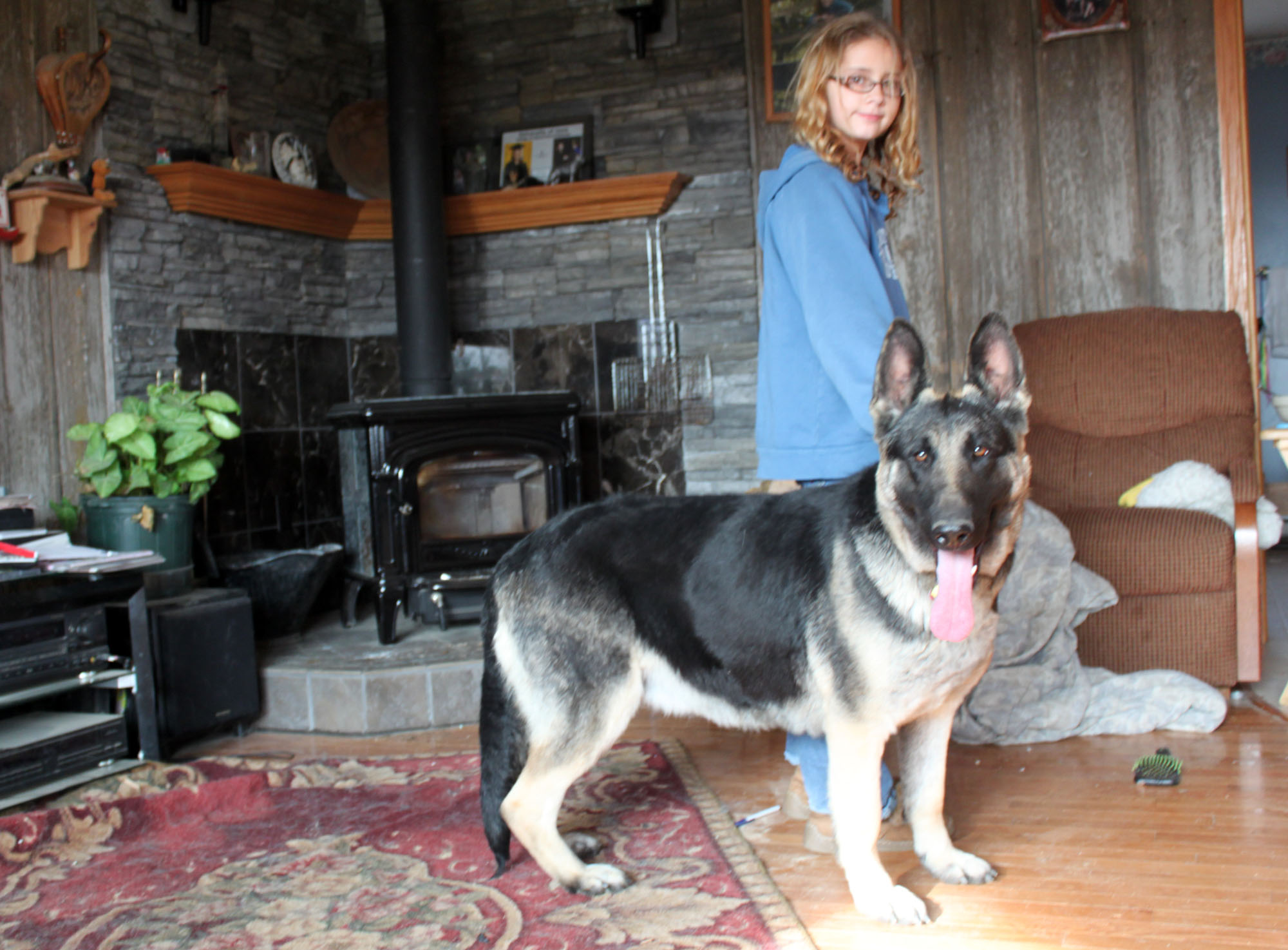 Biggest german shepherd dog in the world big german shepherd
