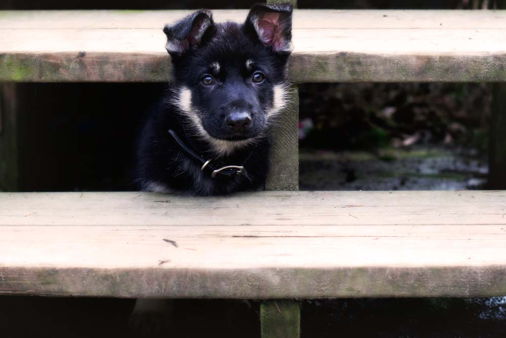black and silver german shepherd puppies for sale