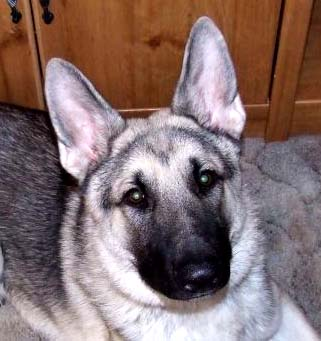 White German Shephrd Large And Oversized