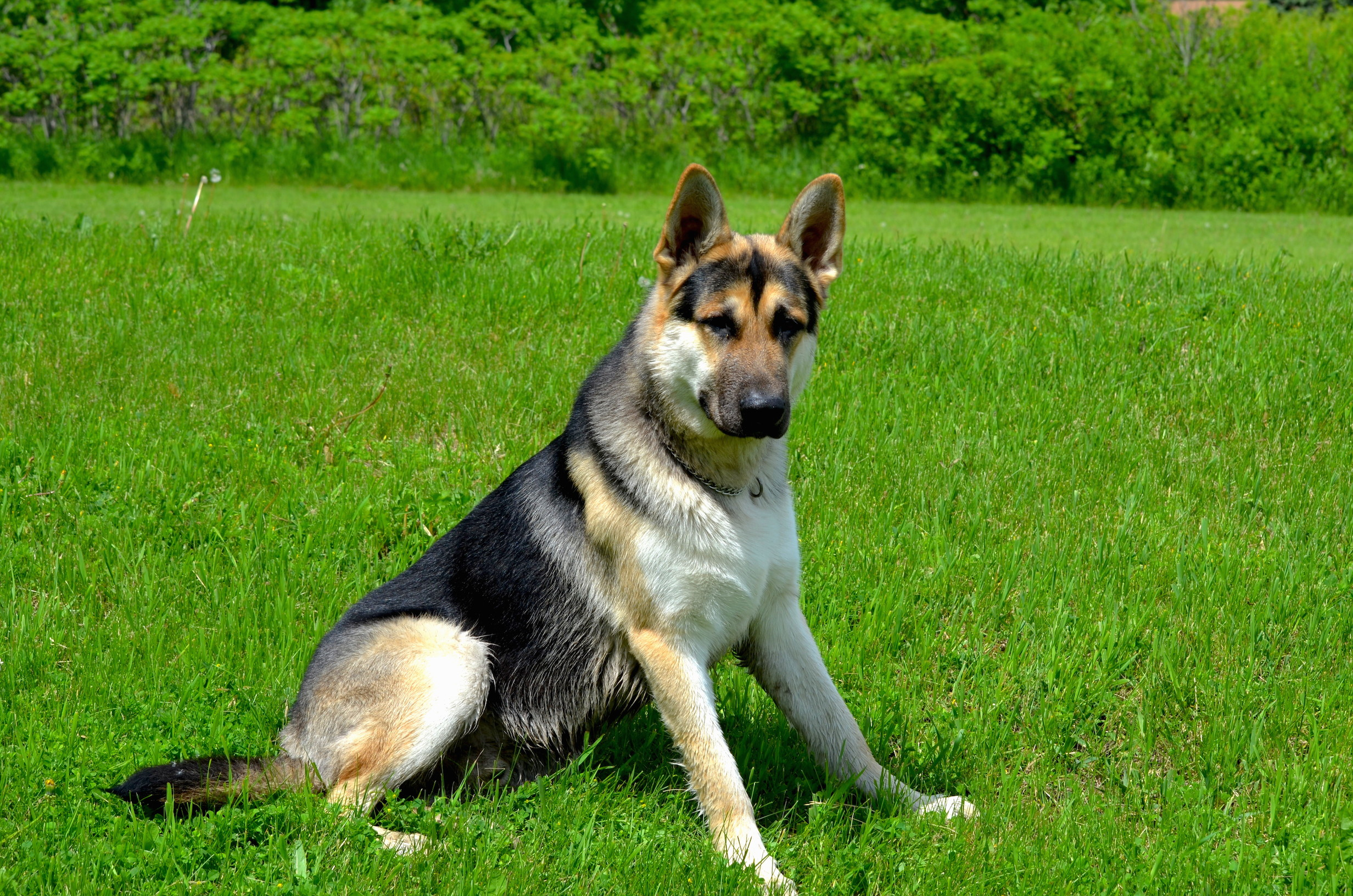 Tri color german shepherds for sale